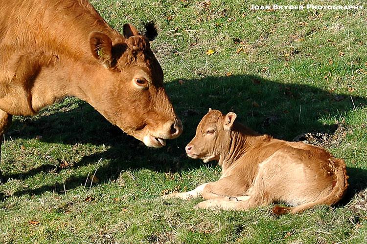 Photo Credit: Joan Bryden Photography http://www.wildcardwalks.co.uk/photo-galleries-farm-cattle.html