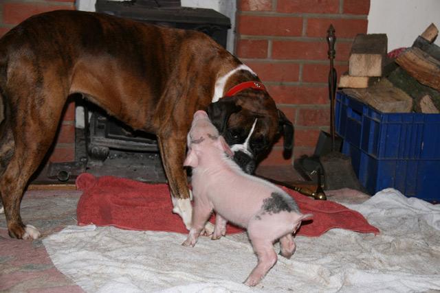 piggy-puggy-1