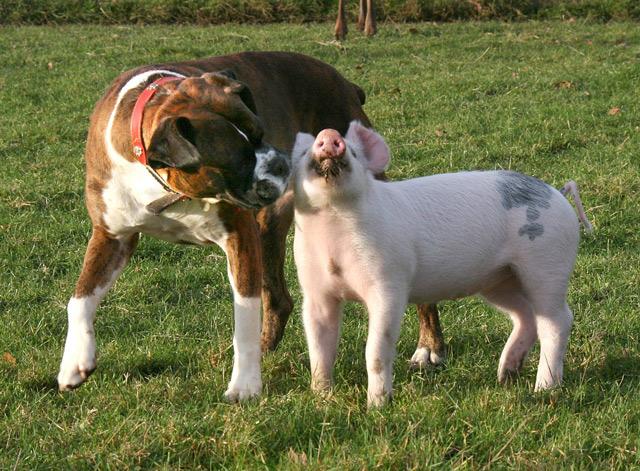 piggy-puggy-2