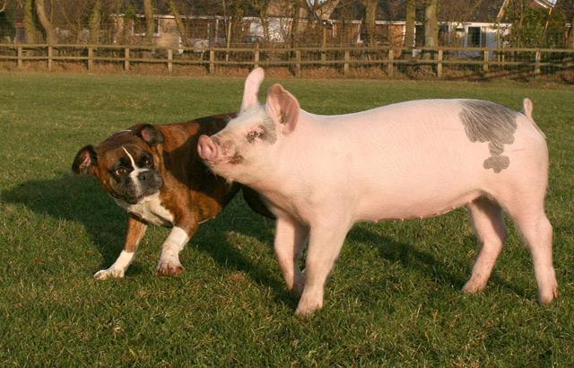 piggy-puggy-3