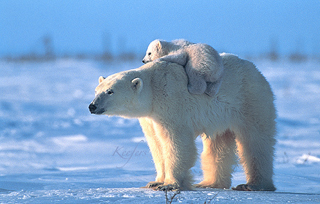 polar bears piggy back rides