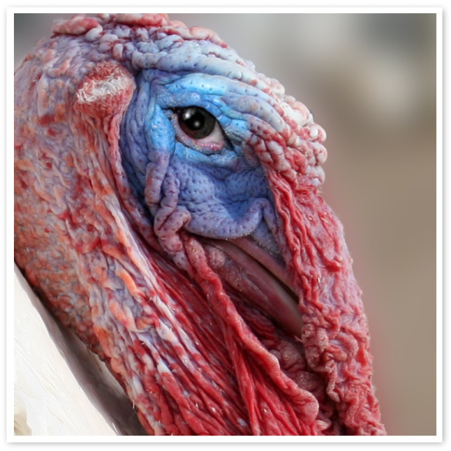 Melvin, rescued turkey at Peaceful Prairie Sanctuary