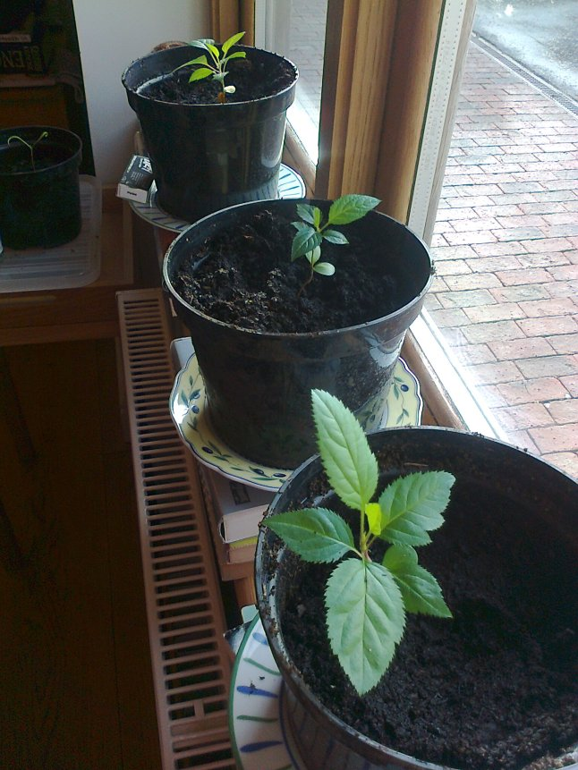 So far we have 3 little apple trees going strong, all different varieties as advised on wikihow
