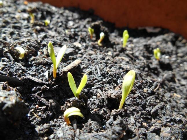 marigold seedlings