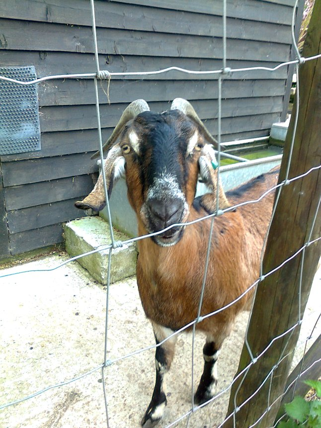 This is Lettie - she is taller than the other goats, so she can stand on her hind legs and eat off of the trees.  Isn't she so delightfully pretty?
