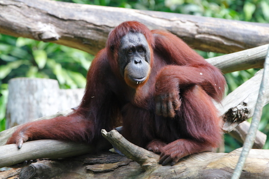 orangutan Sandra legal person
