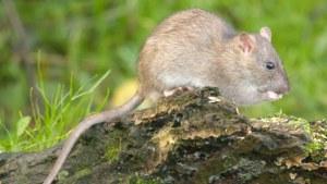 az_brown_rat