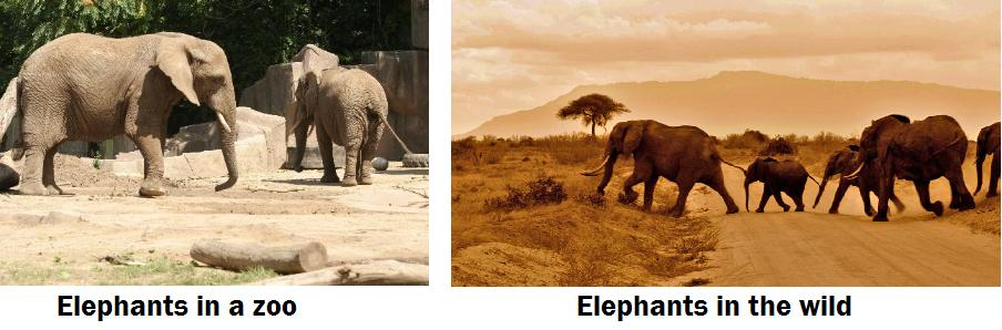 elephants captive and wild