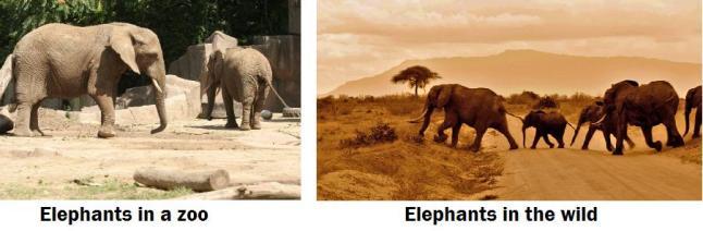 elephants captive and wild