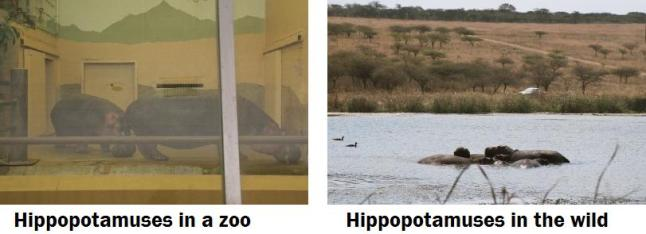 Hippos captive and wild