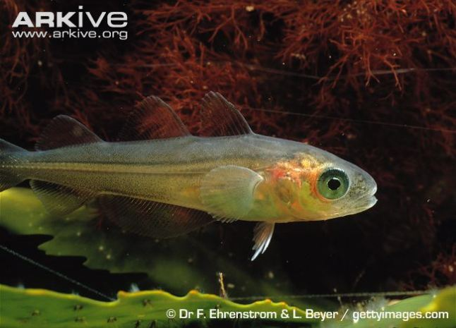 Juvenile-whiting