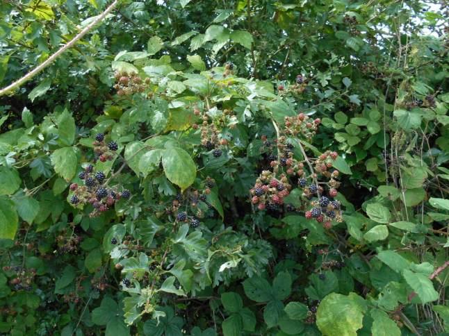 so many blackberries