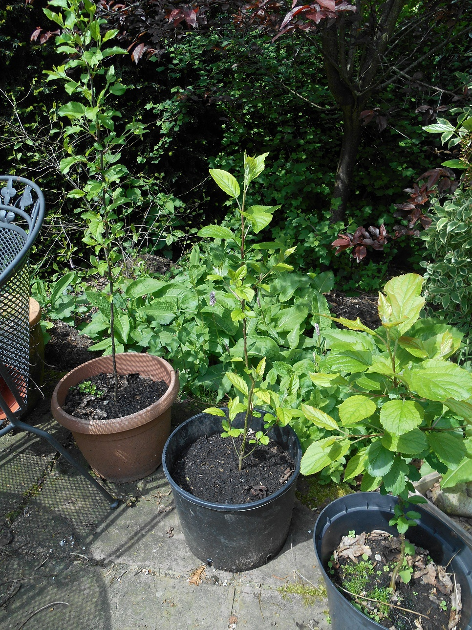 apple trees from seed
