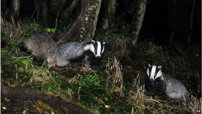 _85320805_badgers_pa